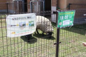 羊エサやり